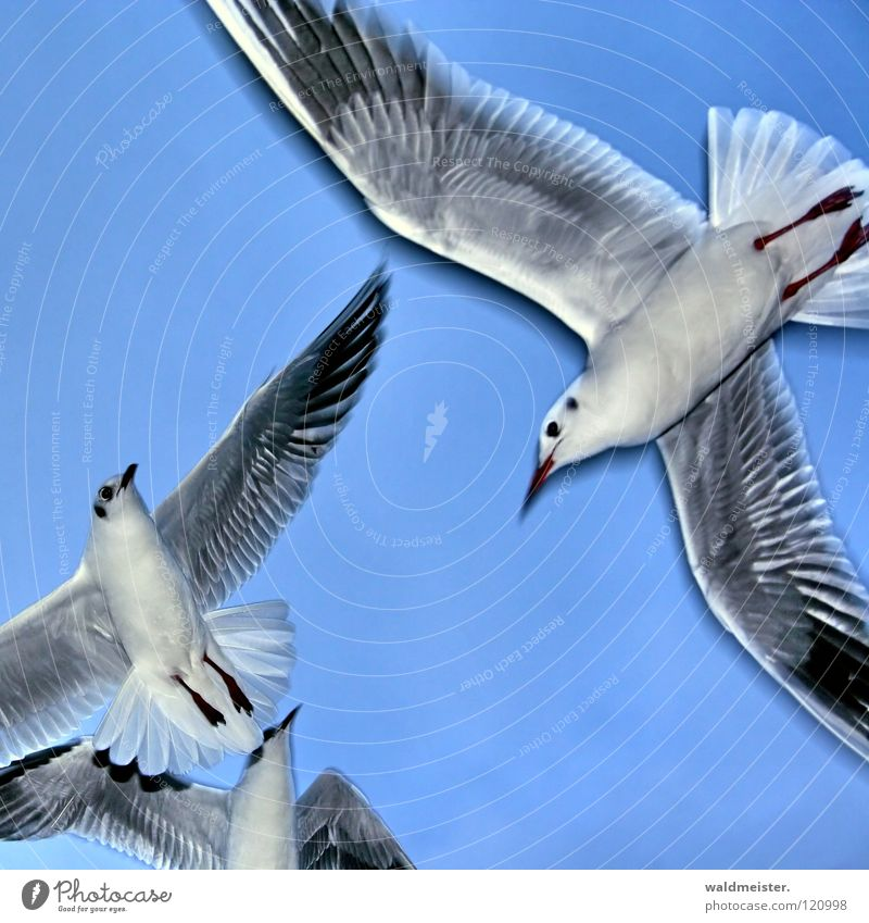 gulls Seagull Black-headed gull  Bird Ocean Beach Sky Aviation Flying Wing Feather