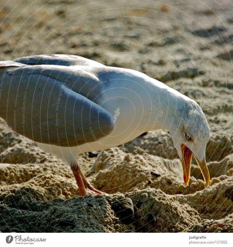 nuisance Seagull Silvery gull Beach Bird Beak Feather Aggravation Loud Animal Coast Ocean Lake Colour Sand Baltic Sea Argument Nature Life