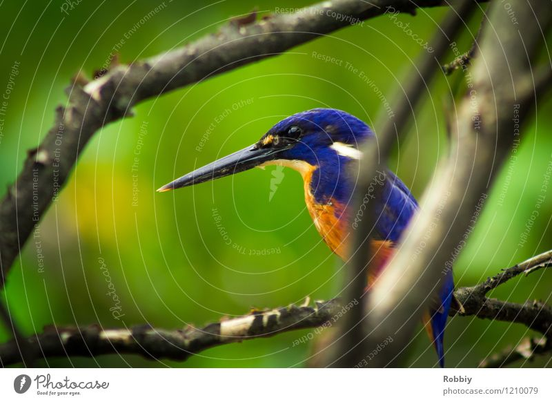 Long live the King(fisher)! Safari Expedition Branch Virgin forest Australia Animal Wild animal Bird Kingfisher 1 Sit Exotic Natural Beautiful Esthetic