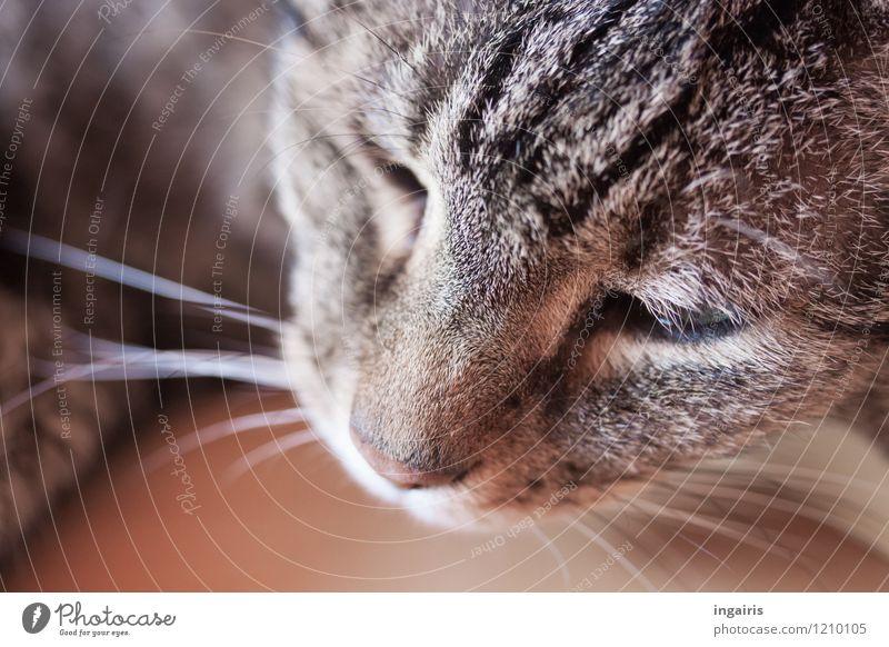 grisu Animal Pet Cat Animal face Pelt Tiger skin pattern Domestic cat 1 Relaxation Lie Sleep Friendliness Near Brown Gray Black White Moody Loyalty Serene Calm