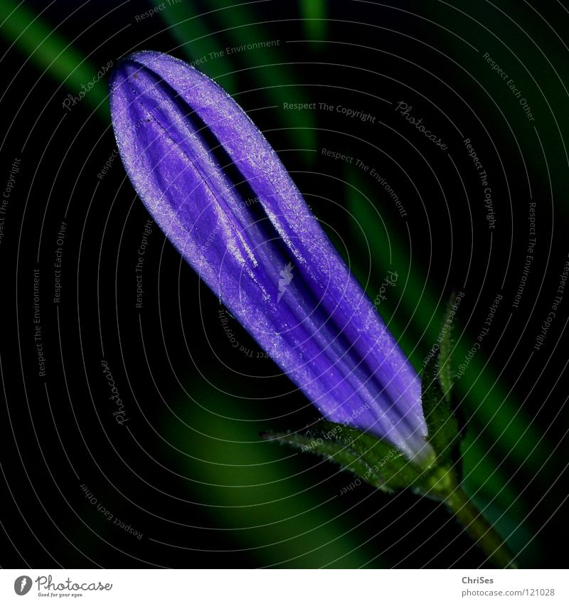 Bud of the Carpathian Bellflower Campanula Blue Clips Violet Green Black Blossom Blossom leave Spring Growth Wake up Summer Herbaceous plants Plant Flower