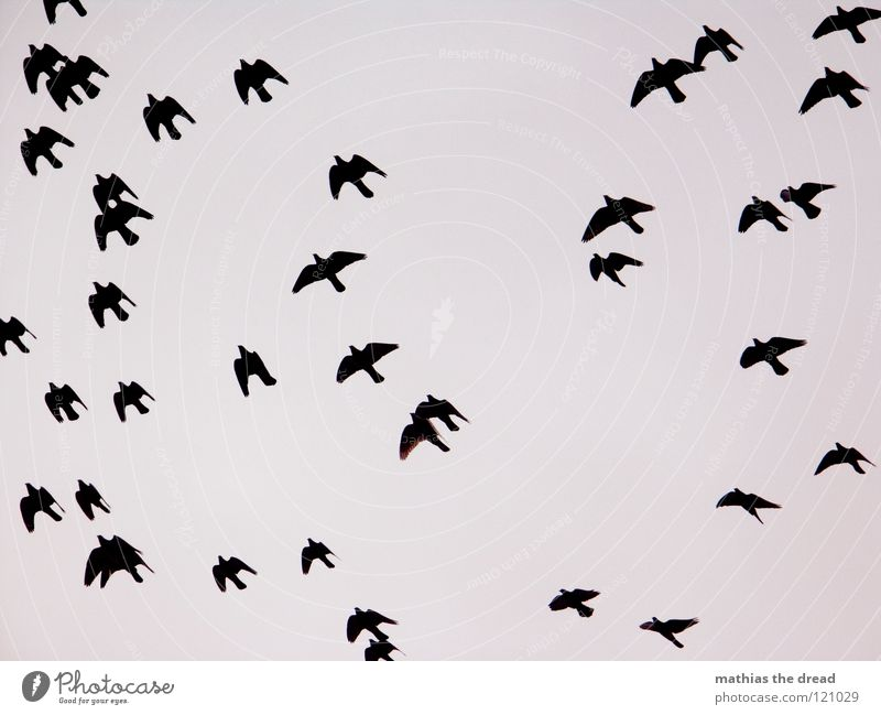 FLYING MUST BE BEAUTIFUL Bird Air Free Speed Animal Migratory bird Gray Beak Beautiful Clouds Black Muddled Background picture Hover Flying Escape Direction