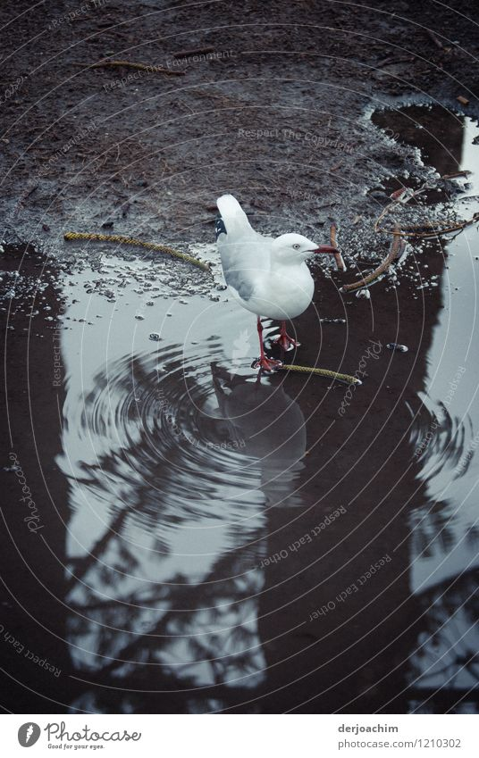 Today I do not take shampoo says a seagull bathing in a puddle, with reflection. Burleigh Heads. Queensland. Australia. Joy Wellness Trip Environment Summer