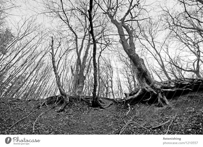 the old forest Environment Nature Landscape Sky Spring Plant Tree Forest Sand Wood Stand Tall Gray Black White Old Tree trunk Branched Root Woodground Tree bark