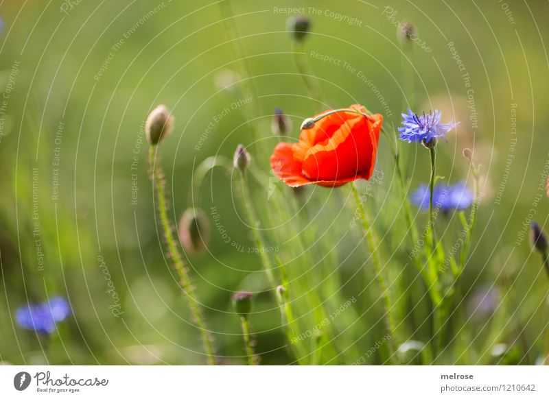 Poppy and cornflower Elegant Style Nature Plant Summer Beautiful weather Flower Blossom Wild plant Cornflower poppies Corn poppy Blossom leave Bud Meadow