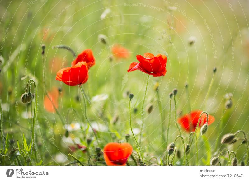 Nature Plant Green Beautiful Summer Flower Relaxation Red Meadow Style Food Dream Design Field Elegant Blossoming