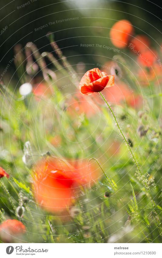 Tuesdays-MOHN Poppy Elegant Style Plant Summer Beautiful weather Flower Blossom Wild plant Poppy blossom Poppy field Corn poppy Poppy leaf Garden Drug addiction