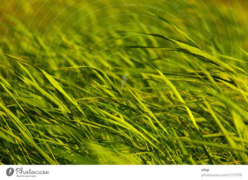 Nature Green Plant Summer Movement Germany Wind Common Reed North Sea Evening sun