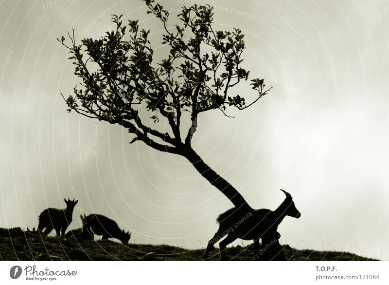 Capricorn Family Buck Animal Antlers Goats Switzerland Tree Silhouette Black & white photo Mammal Nature Jurassic system Creux du Van Wind