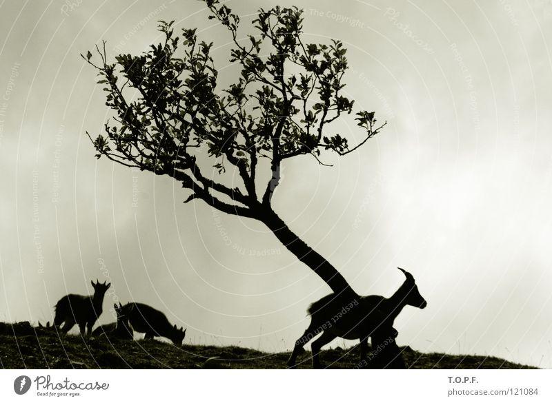 Nature Tree Animal Wind Silhouette Switzerland Mammal Antlers Goats Buck Jurassic system Capricorn