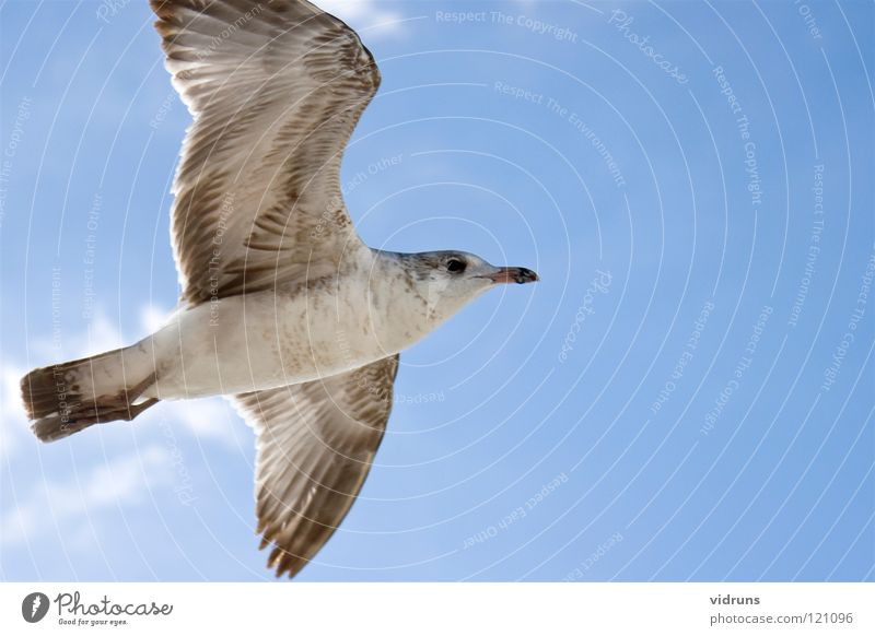 flying seagull Sky bird beech maples wings ring clouds