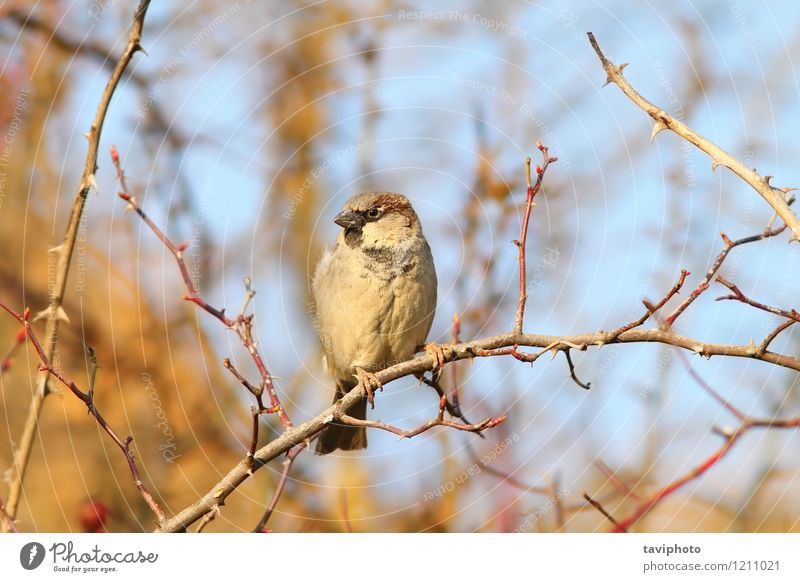 male house sparrow on twig Nature Man Tree Animal House (Residential Structure) Adults Environment Small Brown Bird Bright Wild Feather Sit Observe Cute