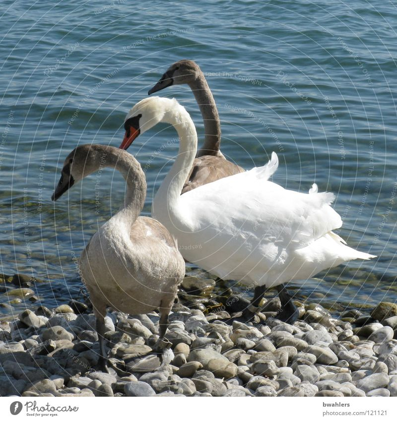 family trip Swan Bird Lake White Gray Waves Beach Beautiful Stand Direction Water Lake Constance Stone Blue Weather Looking