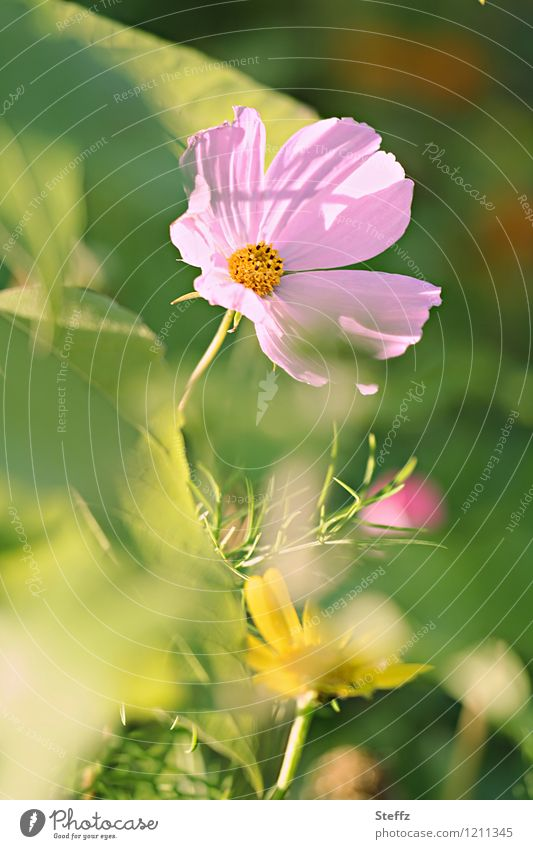 Nature Plant Green Beautiful Summer Flower Blossom Garden Pink Idyll Blossoming Summery Wild plant Illuminating Summerflower Mood lighting