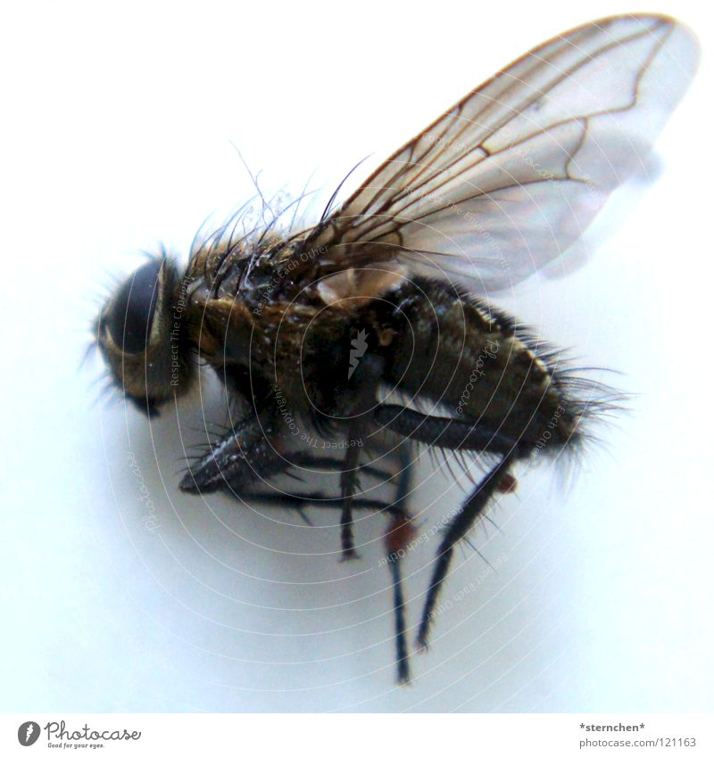 end of life Hexapod Insect Flying insect Dipterous Black White Dark brachycera new-winged aircraft Death unlively Hair and hairstyles Wing Legs Bright Contrast