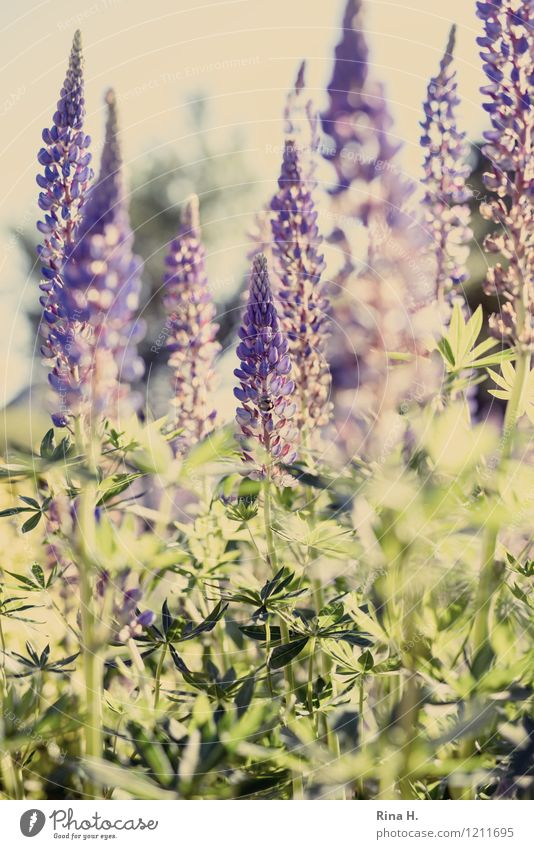 lupins Garden Nature Plant Summer Beautiful weather Flower Blossoming Natural Lupin blossom Romance Colour photo Deserted Shallow depth of field
