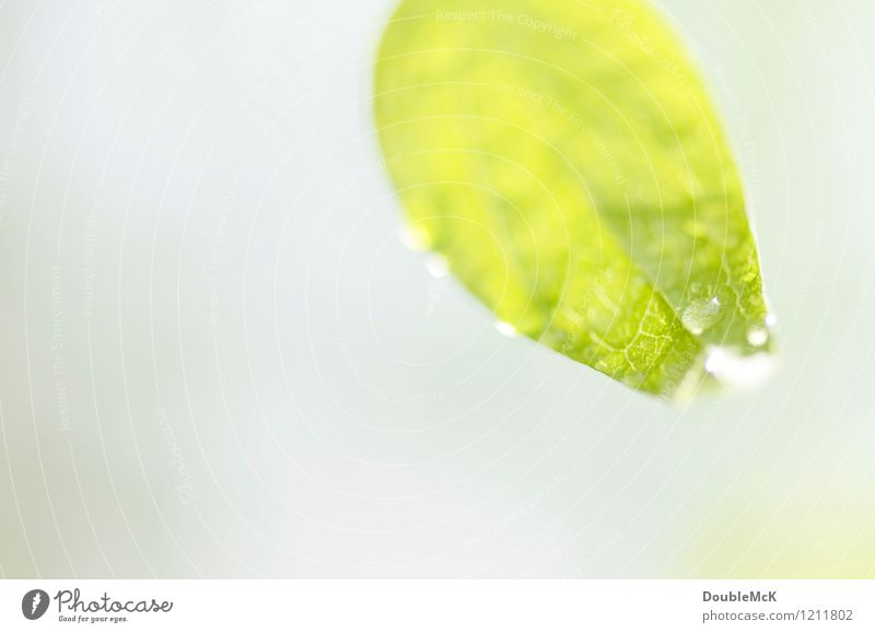 Drop, drop! Environment Nature Plant Water Drops of water Beautiful weather Leaf Blossoming Hang Illuminate Fresh Bright Natural Gray Green White Patient Calm