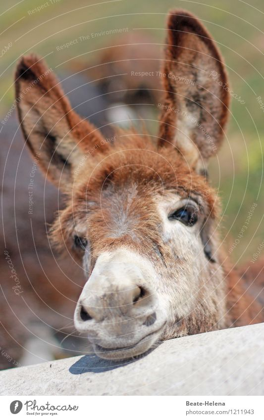 Donkey ears are simply beautiful ... Beautiful Vacation & Travel Tourism Trip Summer Summer vacation Sun Nature Animal Dog-ear Observe Relaxation Wait Exotic