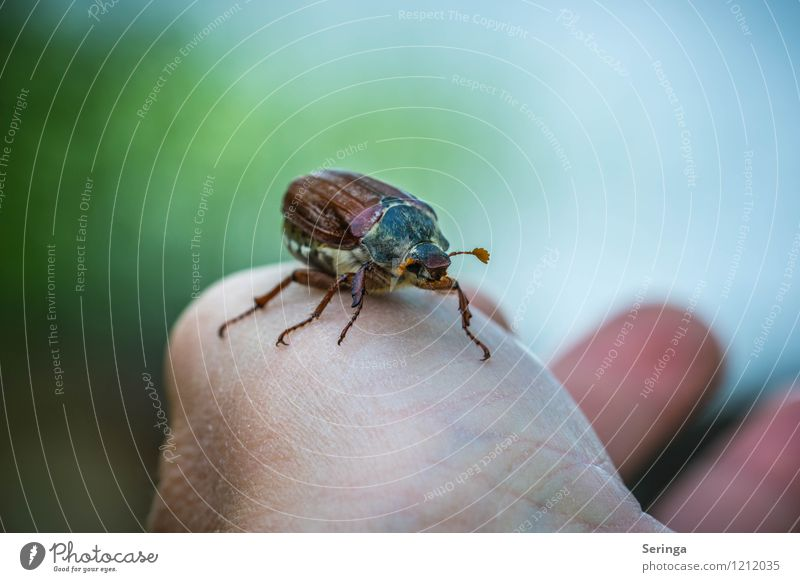Nature Plant Summer Sun Landscape Animal Environment Autumn Wing Animal face Beetle Retentive May bug Ball of the hand