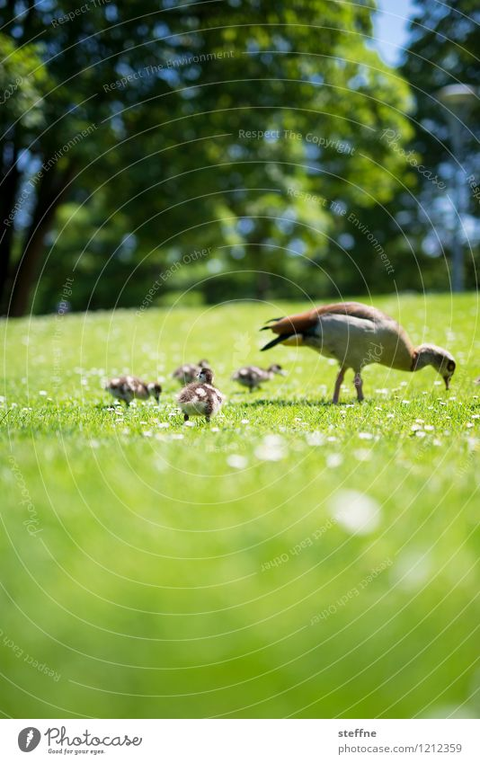 Beastly good: Goose in family Animal Wild animal Bird Group of animals Animal family Cute Green Chick Meadow Spring Beautiful weather Colour photo Deserted