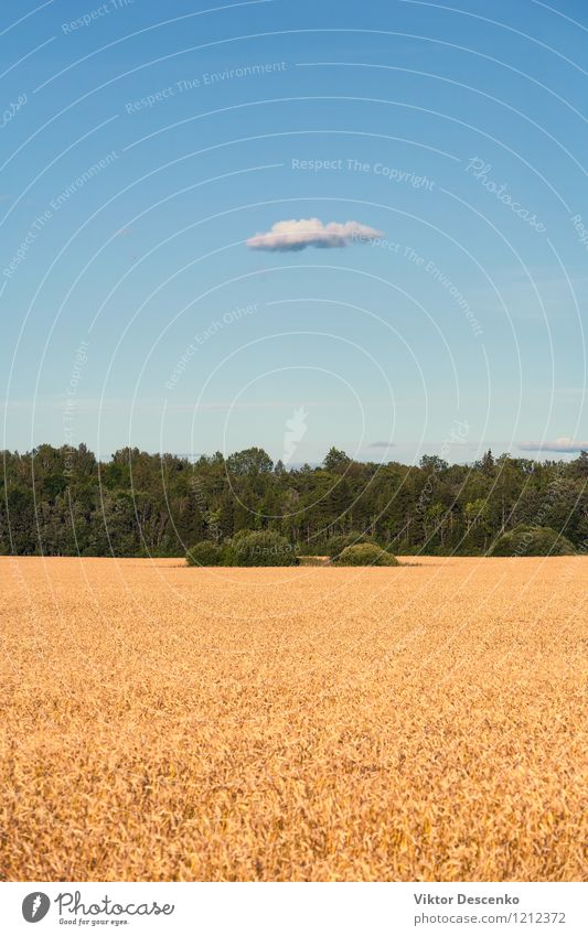 Yellow field of grain sown in the forest and blue sky Summer Nature Landscape Plant Sky Clouds Warmth Tree Flower Growth Blue Gold Green White background Wheat