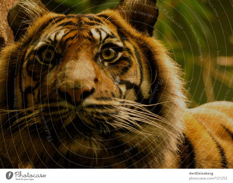 alert Tiger Large Dangerous Alarm Ready Heavy Force Unpredictable Speed Cat Big cat Pelt Pattern Yellow Brown Mammal Threat Looking Hair and hairstyles Ear Fear