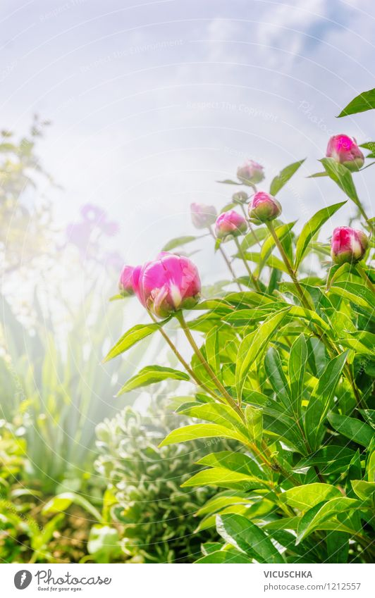 Garden with peonies Summer Nature Plant Sky Sunlight Spring Fog Flower Leaf Blossom Park Oasis Pink Design Style Background picture Peony Splendid Bud