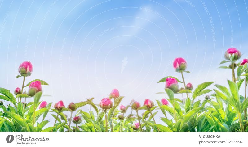 Peonies Panorama Summer Garden Nature Plant Sky Spring Beautiful weather Flower Leaf Blossom Park Yellow Pink Design Style Background picture Ornamental Website
