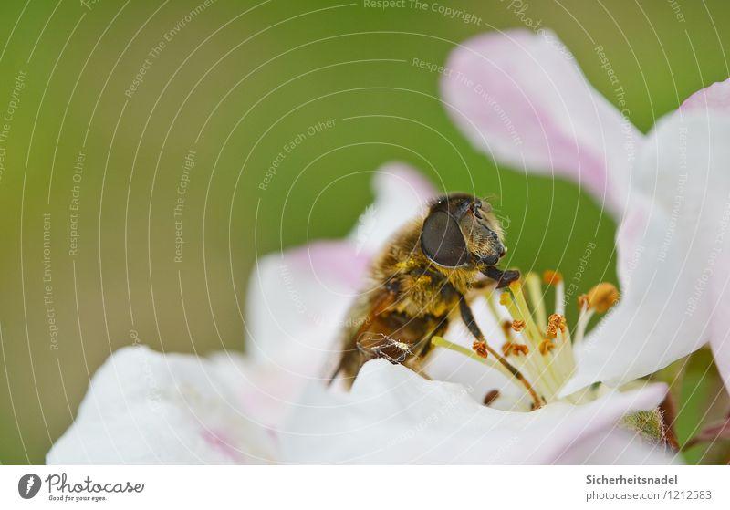 nom nom nom nom Nature Flower Blossom Bee Blossoming Eating Flying Cherry blossom Close-up Macro (Extreme close-up) Colour photo Exterior shot