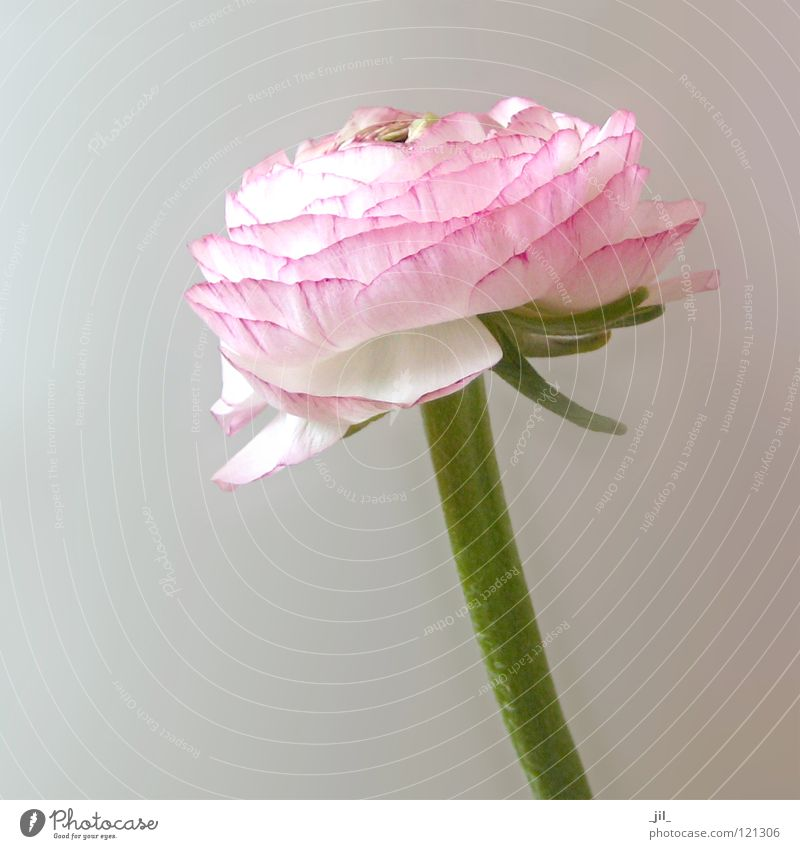 pink ranunculus Flower Plant Delicate Easy Spring White Pink Green Blossom Globeflower Bright Structures and shapes