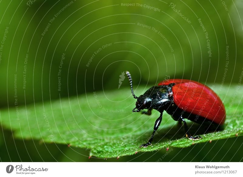 Black, Red, Green Environment Nature Animal Summer Plant Park Forest Beetle Wing poplar leaf beetle Kerf 1 Sit Cleaning Personal hygiene Colour photo