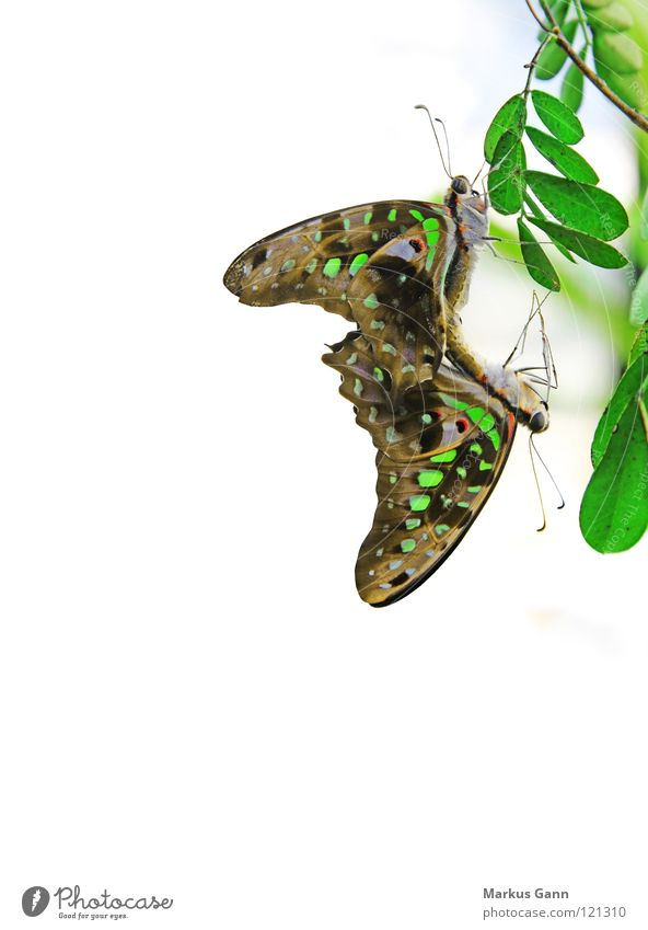 Beautiful White Green Colour 2 Pair of animals Background picture Corner In pairs Insect Butterfly Hang