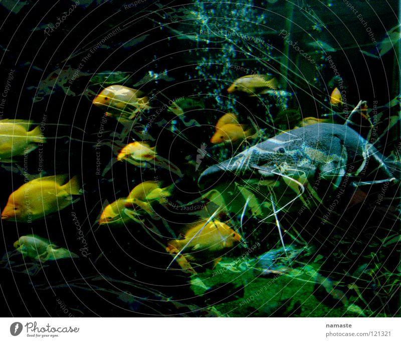 aquarium Aquarium Yellow Green Turquoise Shoal of fish Natural history museum Dortmund Fear Panic Fish Museum Power Wels Water Stock