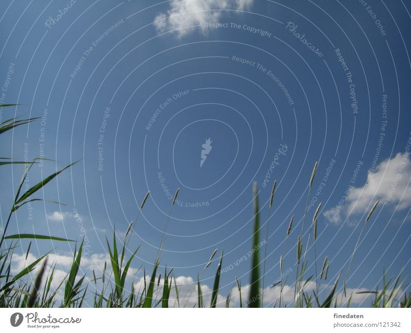 canopy Freedom Summer Sky Grass Positive Blue Colour photo Exterior shot Deserted Copy Space top Day Worm's-eye view Skyward Common Reed Blue sky Blade of grass