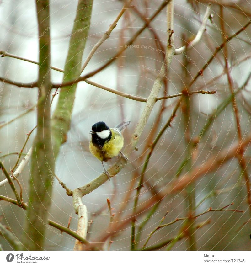Tit winter III Bird Tit mouse Bushes Branchage Undergrowth Crouch Anxious Testing & Control Empty Leafless Winter Cold Yellow Ornithology Twig Sit Looking Blue