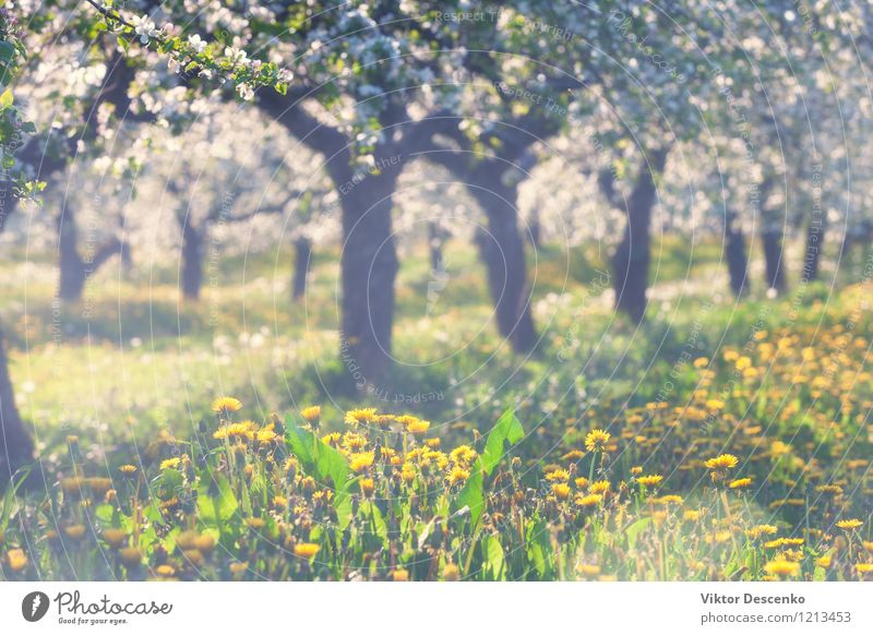 Blooming apple orchard with yellow dandelions in spring Sky Nature Blue Plant White Sun Tree Flower Leaf Yellow Blossom Garden Growth Fresh Seasons Baltic Sea