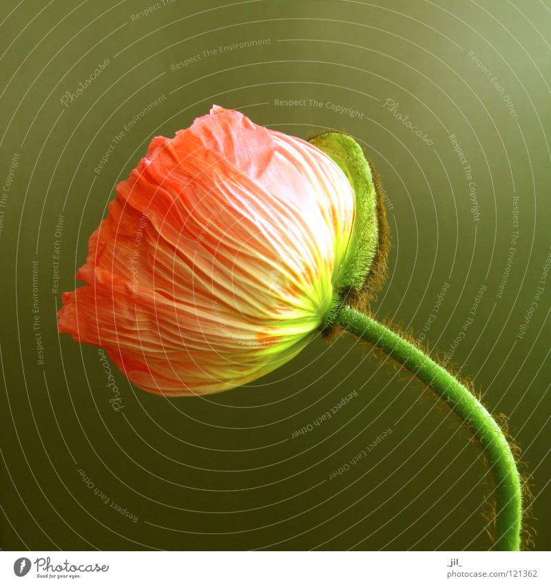 poppy Colour photo Close-up Structures and shapes Neutral Background Happy Beautiful Plant Flower Esthetic Exceptional Round Warmth Brown Yellow Green Joy