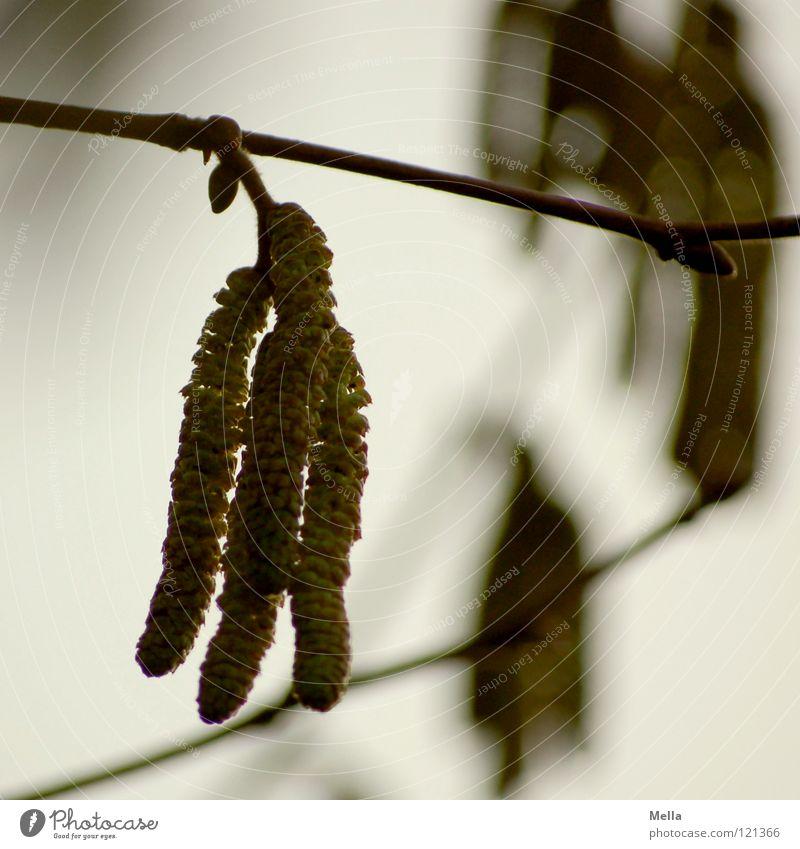 Green Plant Gray Blossom Healthy Flying Bushes Gloomy Branch Hang Pollen Dreary Hazelnut