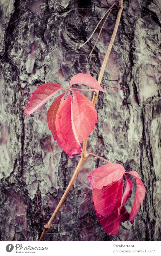 SHAME ON YOU! Environment Nature Plant Autumn Tree Leaf Wild plant Forest Wood Natural Brown Red Colour Life Death Colouring Vine Virginia Creeper Tree bark