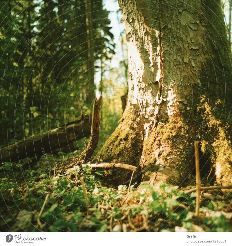 Sun-kissed tree Environment Nature Plant Sunlight Spring Summer Tree Bushes Moss Foliage plant Forest Glittering Illuminate Growth Wild Brown Yellow Green