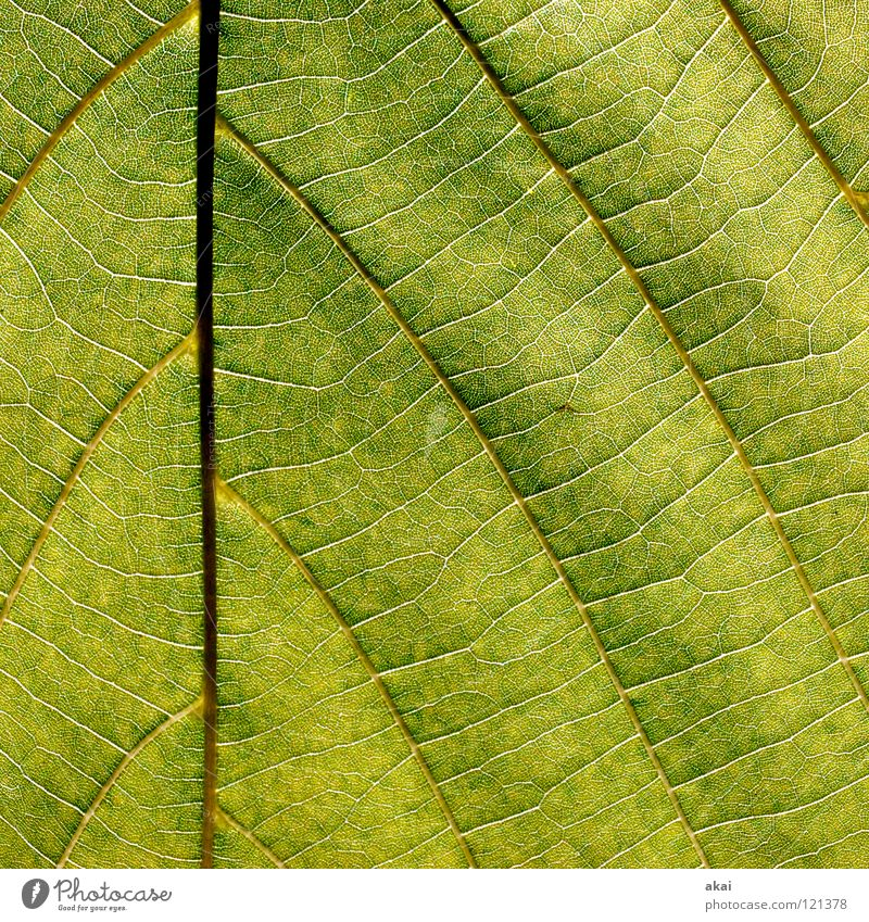 The sheet 27 Plant Lime tree Lime leaf Green Botany Part of the plant Creeper Verdant Environment Bushes Back-light Warped Leaf Background picture Tree Near
