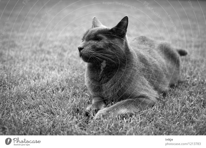 old hangover Grass Lawn Garden Park Meadow Pet Cat Animal face Domestic cat 1 Crouch Lie Old Emotions Moody Pain Lose Lack Opthalmology Scar eye cavity