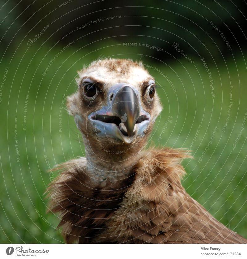 Brown Bird Feather Zoo Beak Clown Animal Acrobat Vulture