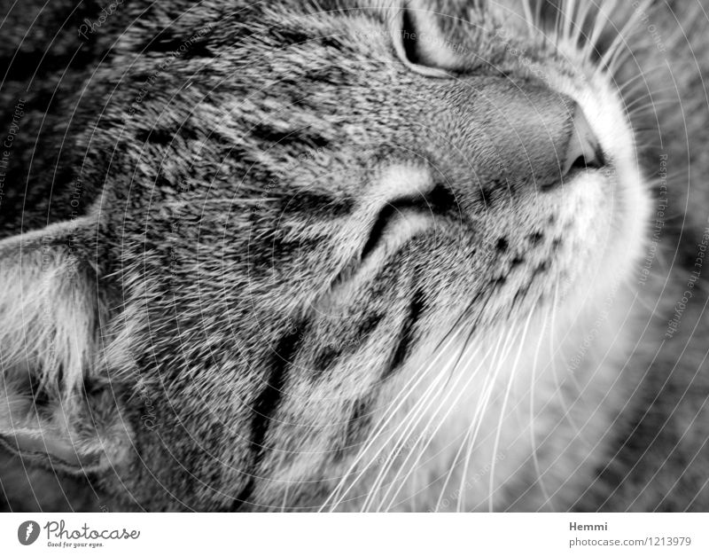 Cuddly Tiger II Animal Pet Cat Animal face Pelt 1 Relaxation Sleep Domestic cat Cat's head Cat lover Black & white photo Exterior shot Close-up Detail