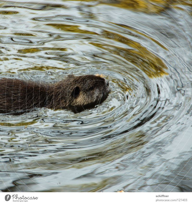 Water Animal Swimming & Bathing Wet Wild animal Cute Pelt Mammal Surface of water Rodent Snub nose Nutria Musk rat