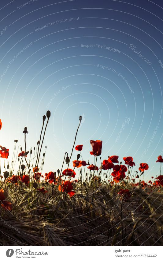 Poppies you have to have Environment Nature Landscape Plant Earth Sky Cloudless sky Summer Beautiful weather Flower Corn poppy Cornfield Meadow Field Blossoming