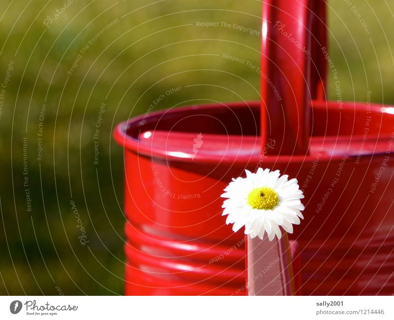and always water diligently...! Flower Daisy Garden Watering can Blossoming Faded Friendliness Happiness Fresh Red Joy Spring fever Summer Summer's day Cast Dry