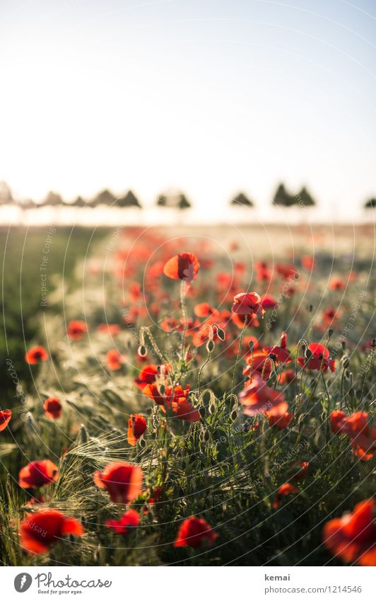 Spreedorado. Poppies and hats. Environment Nature Landscape Plant Cloudless sky Sun Sunrise Sunset Sunlight Summer Beautiful weather Warmth Tree Flower