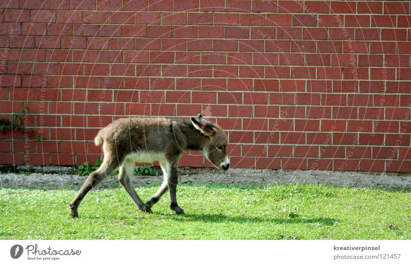 donkey at the wall Summer Zoo Nature Animal Grass Meadow Wall (barrier) Wall (building) Going Walking Sadness Brown Gray Green Red White Grief Fence Mule Lawn