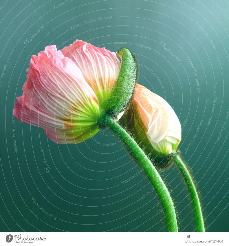 Beautiful Flower Green Yellow Gray Orange Pink Poppy Turquoise Poppy blossom